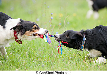 Two dogs playing with rope toy - Two dogs border collie...