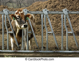 Jersey Cow               - Dairy Jersey Cow