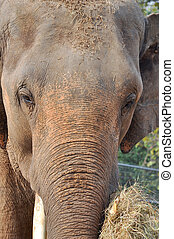 Asia elephant - Asian elephants, smaller than their African...