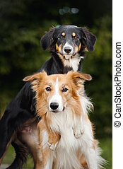 two cute dog border collie huging together closeup
