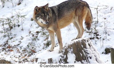 wolves move through a forested area winter