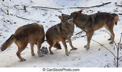 wolves move through a forested area in winter