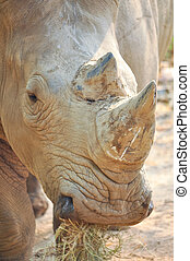 White rhinos have two horns, the foremost more prominent...