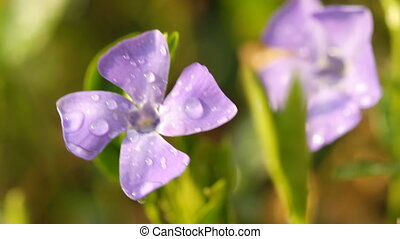 Periwinkle flowers with drops of water