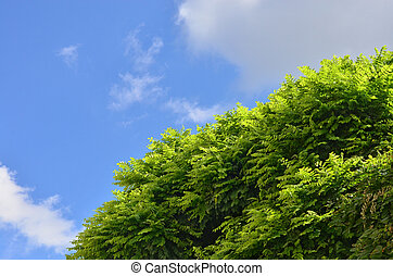 Summer season - Very fresh green acacia tree over blue...