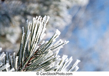 Hoarfrost on the needles of a pine tree on blur background
