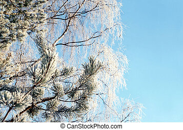 Hoarfrosted branches of pine tree and birch against soft...