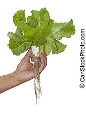 hydroponic, plante, main