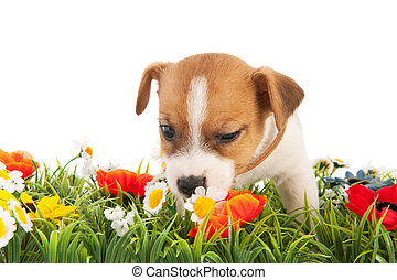 Puppy dog sniffing at flowers - Jack Russel puppy dog...
