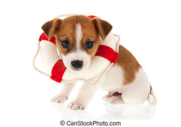 Jack Russel puppy as rescue dog isolated over white...