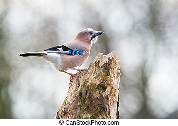 Eurasian jay in nature on branch