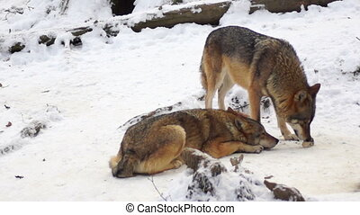 wolves move through a forested area