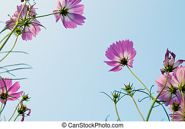 aster - Aster in the blue sky
