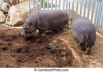 Two hippopotamus in a zoo