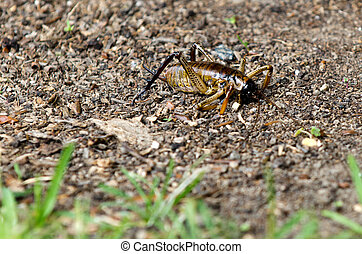 Weta nz insect - Giant weta insect on the ground.