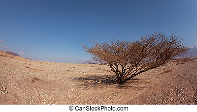 The typical triangular crone - Lonely tree in stone desert...