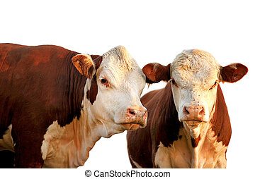 Two curious cows - Two curious red and brown cows isolated...