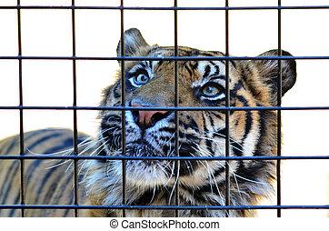 tiger,  sumatran