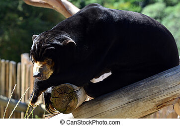 Malayan sun bear rest on a tree