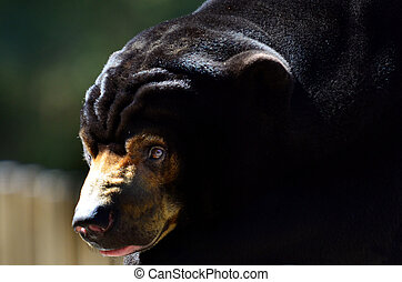 Malayan sun bear face Close Up