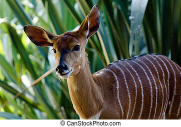 Nyala - Female Nyala in its natural environment