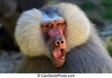 Hamadryas baboon face. (Close up)