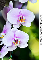 Phalaenopsis - The culture of Phalaenopsis involves...