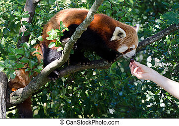 Red panda - Human hand feeds red panda on a tree.