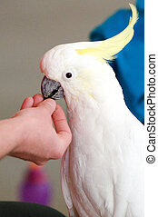 Sulphur Crested Cockatoos eat food from human hand