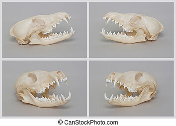 Rendering of naked fox skull. - Rendering of naked fox...