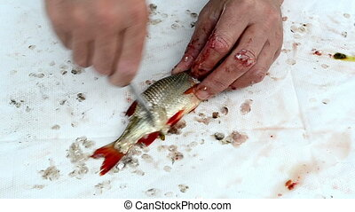 fisherman clean fish gut - fisherman hands with knife clean...