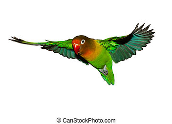 Flying lovebird - Flying fisheri lovebird