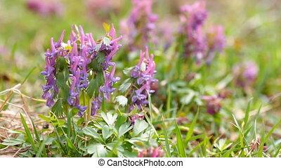 Corydalis spring flowers