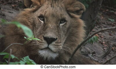 the king lion hidden in the forest - lion hidden in the...