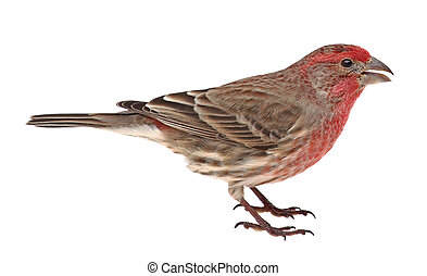 Isolated House Finch - House finch, Carpodacus mexicanus,...