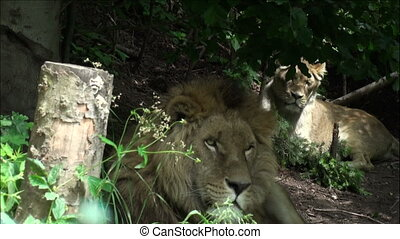 two lions on a tree trunk resting