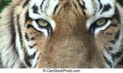 tiger eyes - simerian tiger is relaxing and resting,close-up