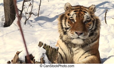 simerian tiger is relaxing and resting,close-up, winter