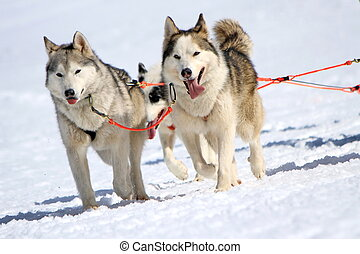 A husky sled dog team at work with tongue outside by winter...