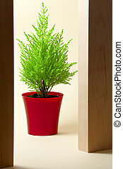 Cypress. Houseplant in a red container on light background
