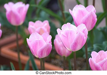 vivid pink tulip - this photo is taken in Toyohashi