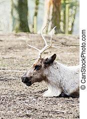 Reindeer profile - Closeup of reindeer profile showing...