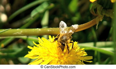 Working bee collecting pollen from a dandelion