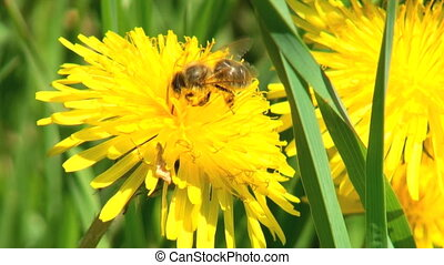 Bee On A Flower - Working bee collecting pollen from a...