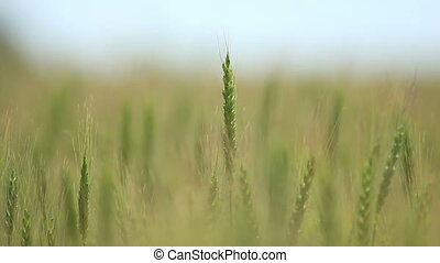Closeup of wheat ears on wind
