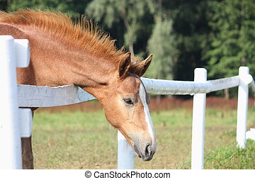 Chestnut foal standing near the pasture fence
