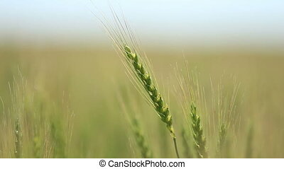Closeup of ear wheat on wind