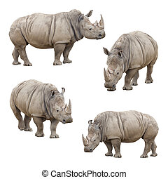 Set of Rhinoceros Isolated on a White Background - Set of...