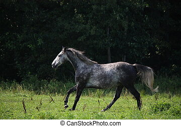 Dark gray horse galloping at the field in summer