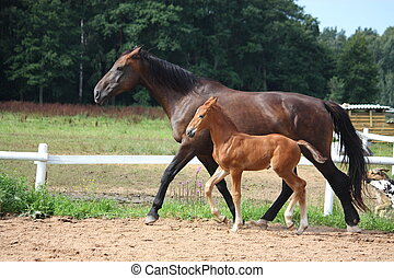 Foal and his mother trotting in the paddock